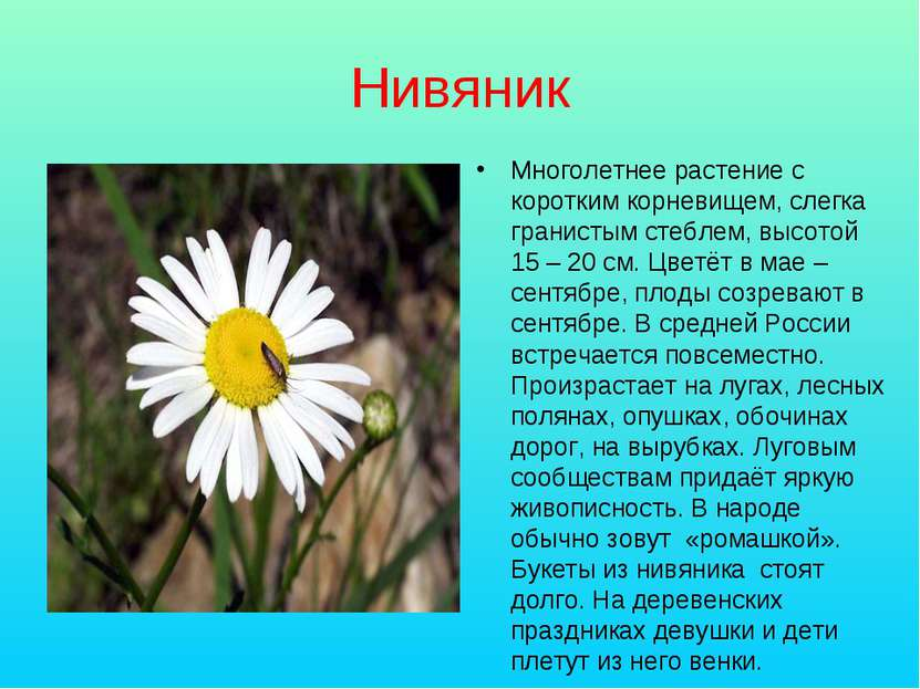 Нивяник Многолетнее растение с коротким корневищем, слегка гранистым стеблем,...