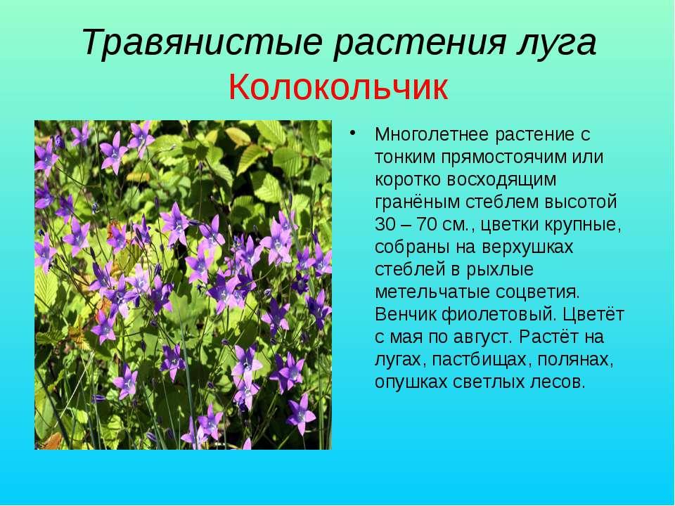 Травянистые растения луга Колокольчик Многолетнее растение с тонким прямостоя...