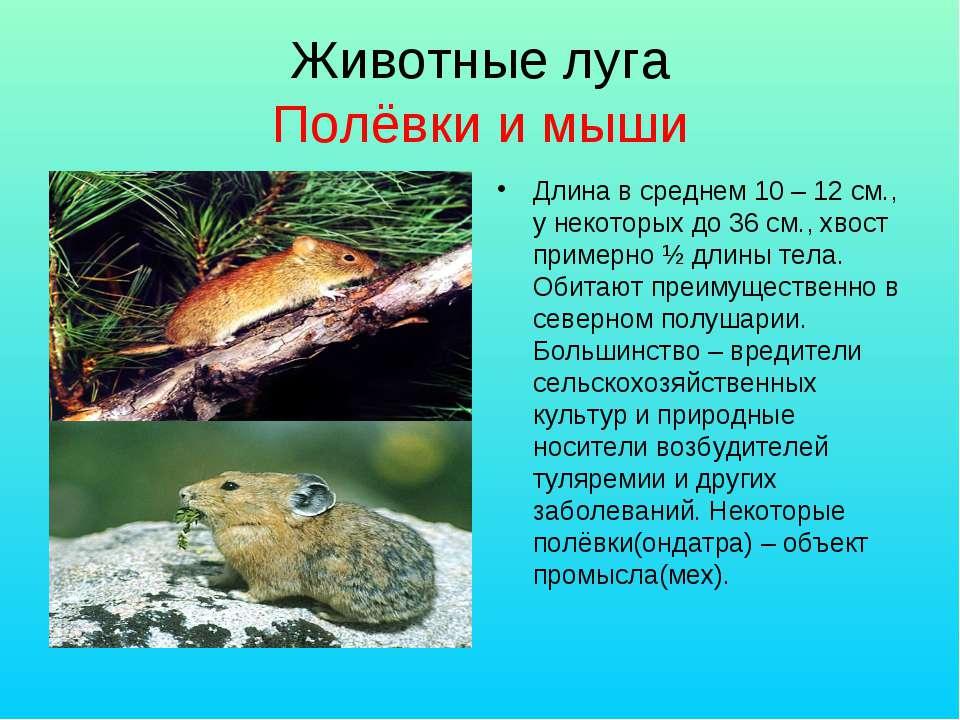 Животные луга Полёвки и мыши Длина в среднем 10 – 12 см., у некоторых до 36 с...