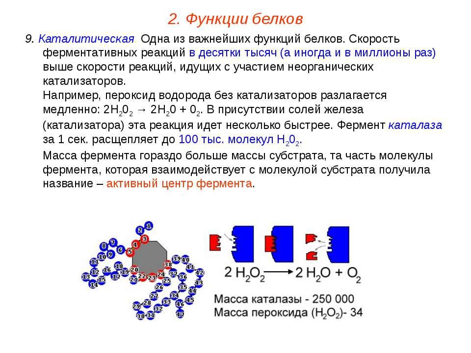 9. Каталитическая. Одна из важнейших функций белков. Скорость ферментативных ...