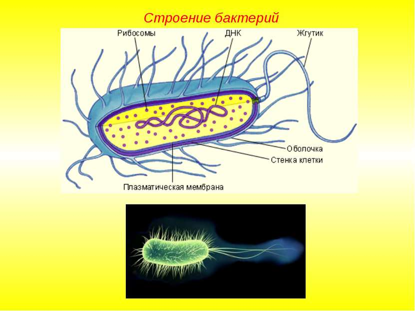 Строение бактерий