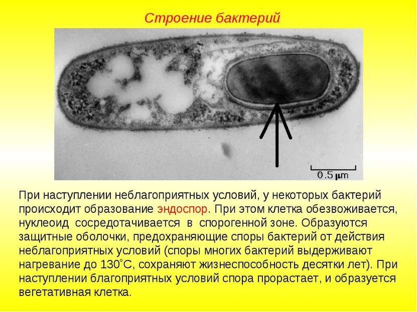 Строение бактерий При наступлении неблагоприятных условий, у некоторых бактер...