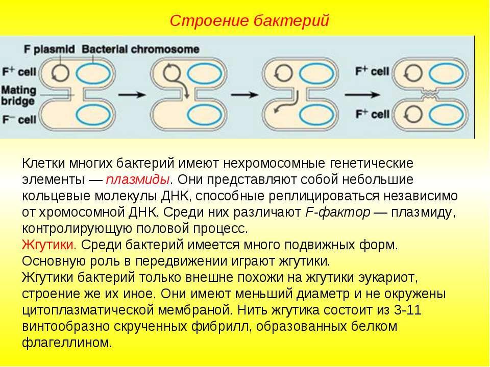 Строение бактерий Клетки многих бактерий имеют нехромосомные генетические эле...