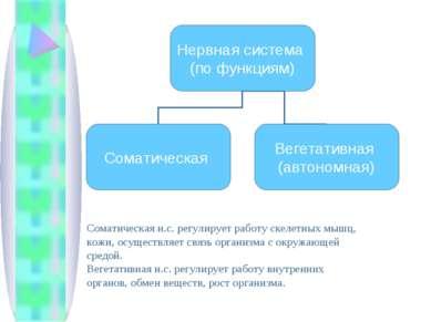 Соматическая н.с. регулирует работу скелетных мышц, кожи, осуществляет связь ...