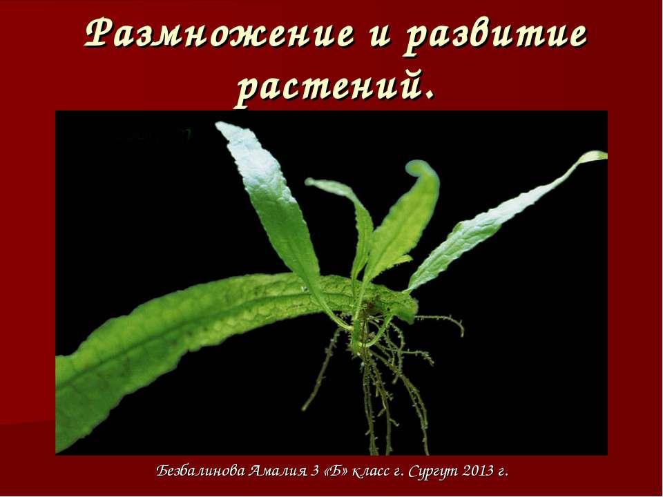 Размножение и развитие растений. Безбалинова Амалия 3 «Б» класс г. Сургут 201...