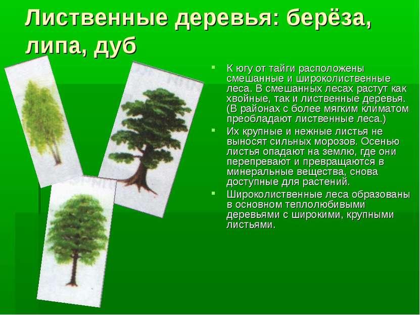 Лиственные деревья: берёза, липа, дуб К югу от тайги расположены смешанные и ...