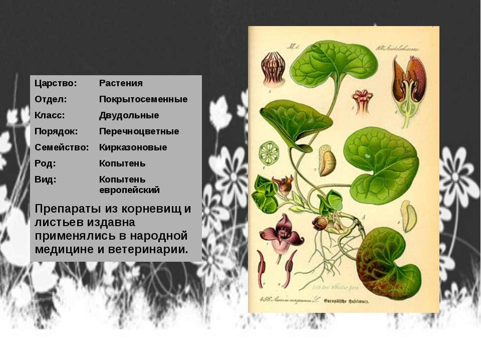 Царство: Растения Отдел: Покрытосеменные Класс: Двудольные Порядок: Перечноцв...