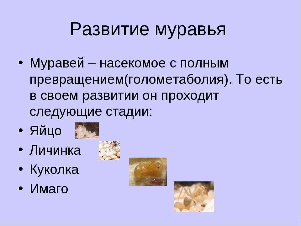 Развитие муравья Муравей – насекомое с полным превращением(голометаболия). То...