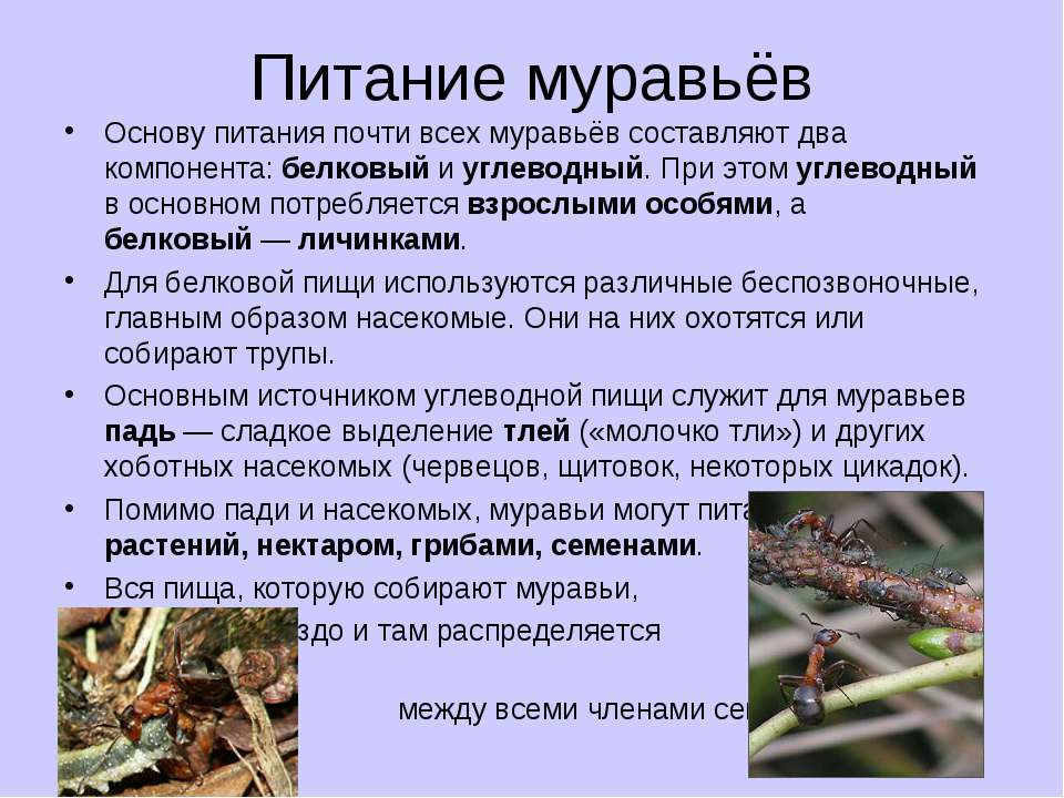 Питание муравьёв Основу питания почти всех муравьёв составляют два компонента...