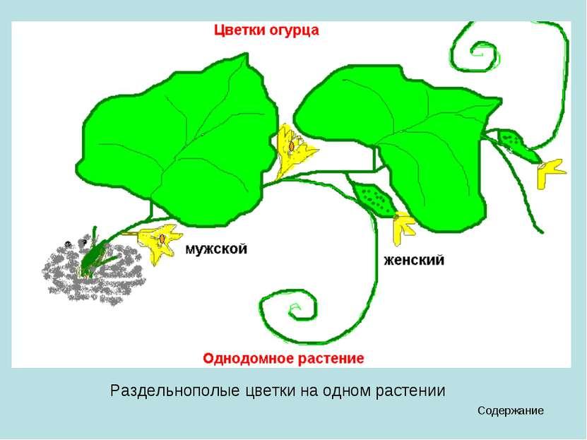 Содержание Раздельнополые цветки на одном растении