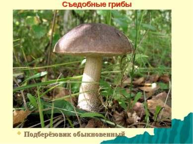 Съедобные грибы Подберёзовик обыкновенный