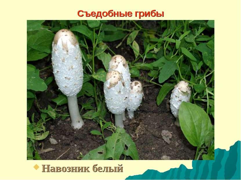 Съедобные грибы Навозник белый