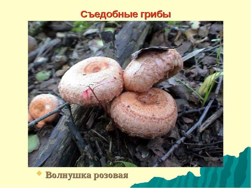 Съедобные грибы Волнушка розовая