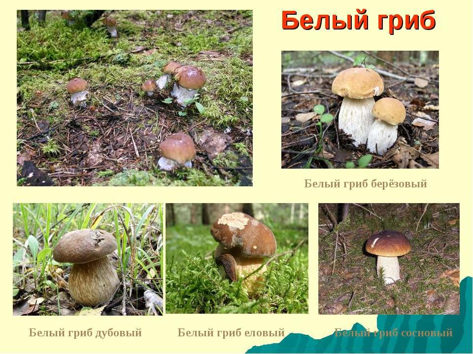 Белый гриб Белый гриб дубовый Белый гриб берёзовый Белый гриб еловый Белый гр...