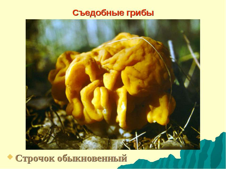 Съедобные грибы Строчок обыкновенный