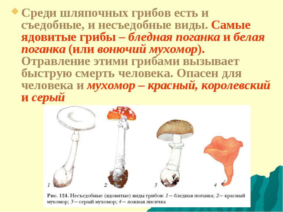 Среди шляпочных грибов есть и съедобные, и несъедобные виды. Самые ядовитые г...