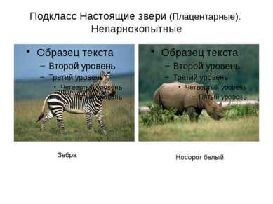 Подкласс Настоящие звери (Плацентарные). Непарнокопытные Зебра Носорог белый