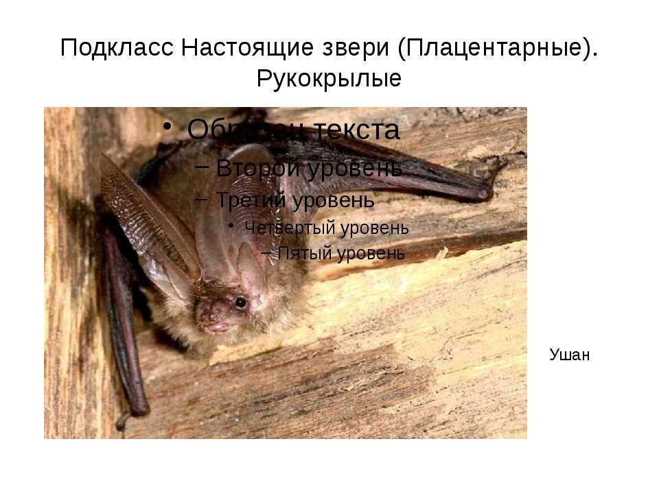 Подкласс Настоящие звери (Плацентарные). Рукокрылые Ушан