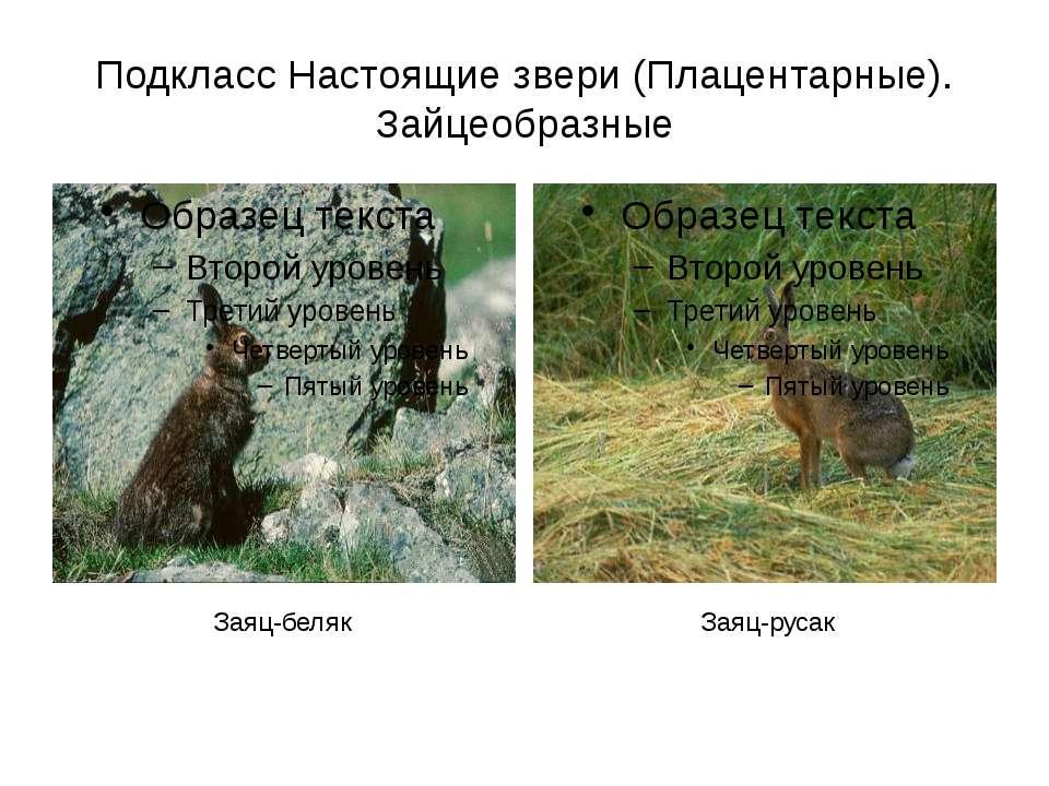 Подкласс Настоящие звери (Плацентарные). Зайцеобразные Заяц-русак Заяц-беляк
