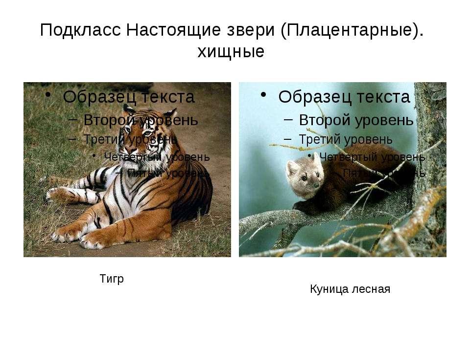 Подкласс Настоящие звери (Плацентарные). хищные Тигр Куница лесная