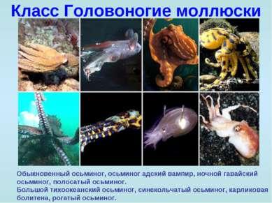 Класс Головоногие моллюски Обыкновенный осьминог, осьминог адский вампир, ноч...