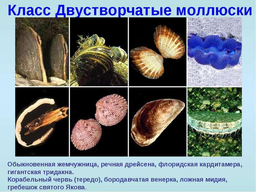 Класс Двустворчатые моллюски Обыкновенная жемчужница, речная дрейсена, флорид...