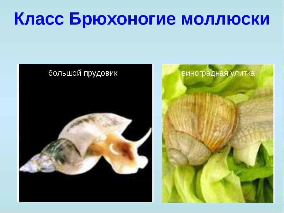 Класс Брюхоногие моллюски большой прудовик виноградная улитка