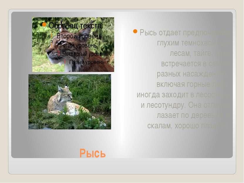 Рысь Рысь отдает предпочтение глухим темнохвойным лесам, тайге, хотя встречае...