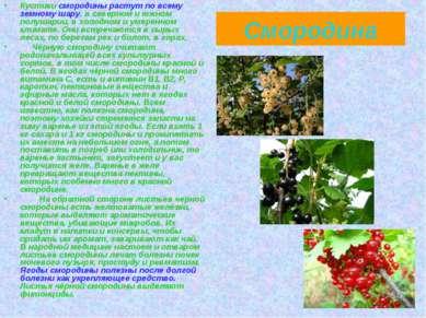 Смородина Кустики смородины растут по всему земному шару, в северном и южном ...