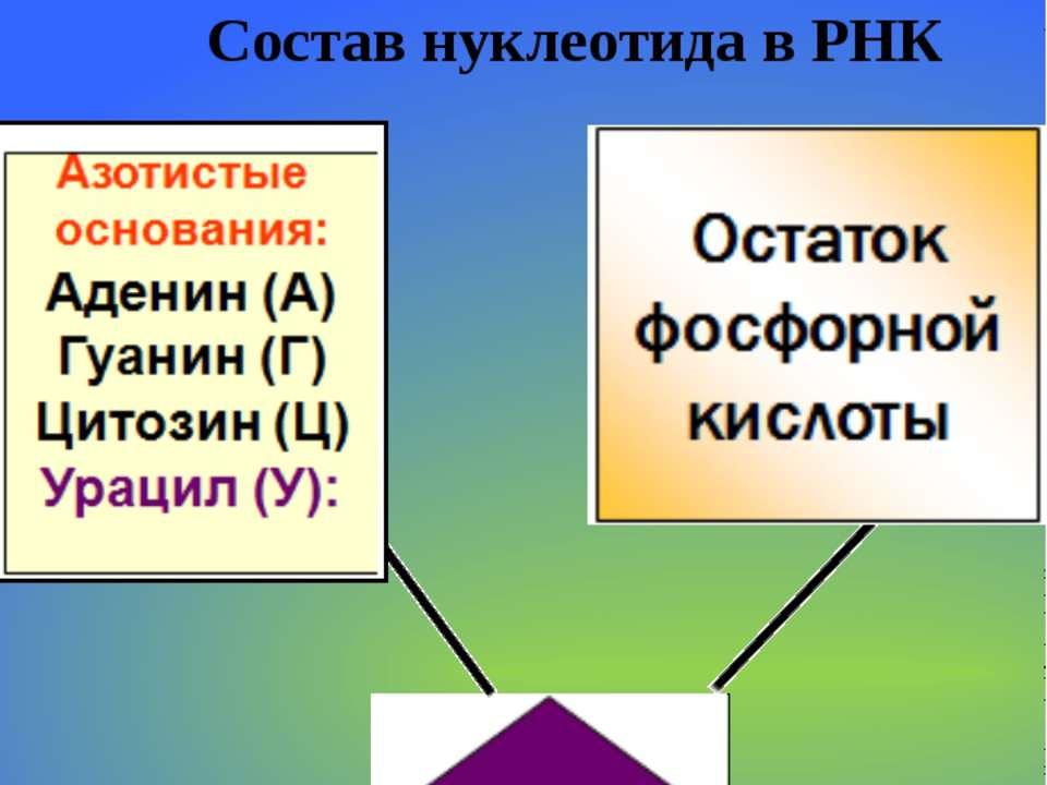 Кислота Рибонуклеиновая