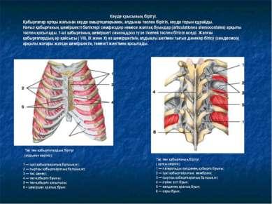 Төс пен қабырғалардың бірігуі (алдынан көрініс): 1 — ішкі қабырғааралық бұлшы...