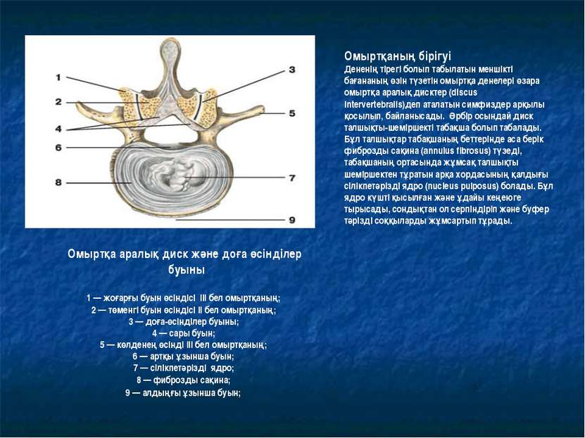 Омыртқа аралық диск және доға өсінділер буыны 1 — жоғарғы буын өсіндісі III б...