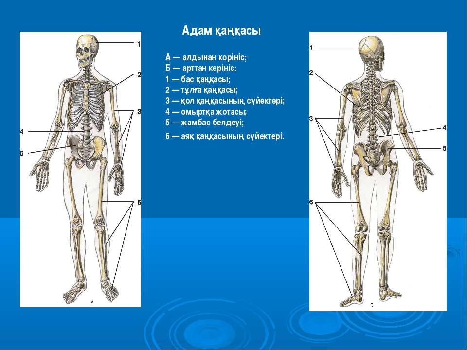 Адам қаңқасы А — алдынан көрініс; Б — арттан кәрініс: 1 — бас қаңқасы; 2 — тұ...