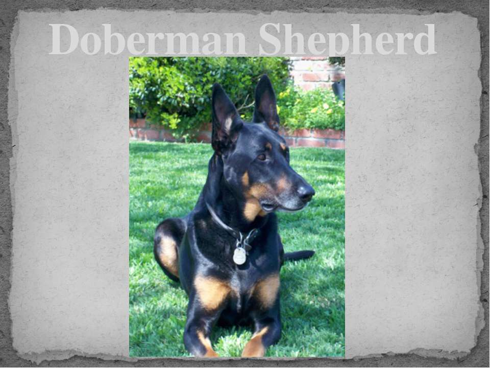 Doberman Shepherd