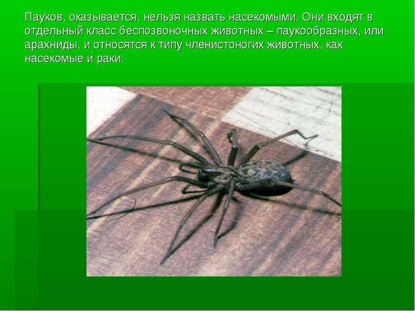 Пауков, оказывается, нельзя назвать насекомыми. Они входят в отдельный класс ...