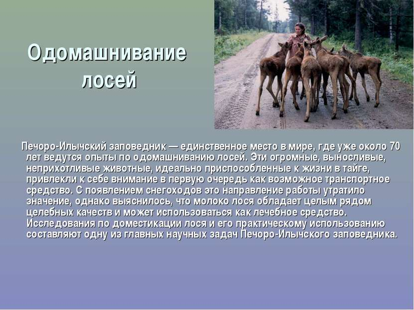 Одомашнивание лосей Печоро-Илычский заповедник — единственное место в мире, г...