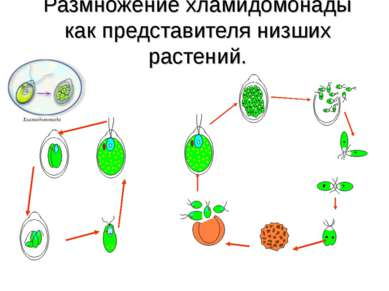 Размножение хламидомонады как представителя низших растений.