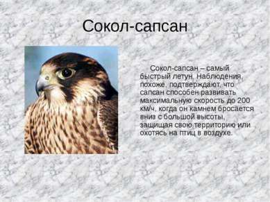 Сокол-сапсан Сокол-сапсан – самый быстрый летун. Наблюдения, похоже, подтверж...