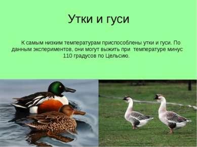 Утки и гуси К самым низким температурам приспособлены утки и гуси. По данным ...