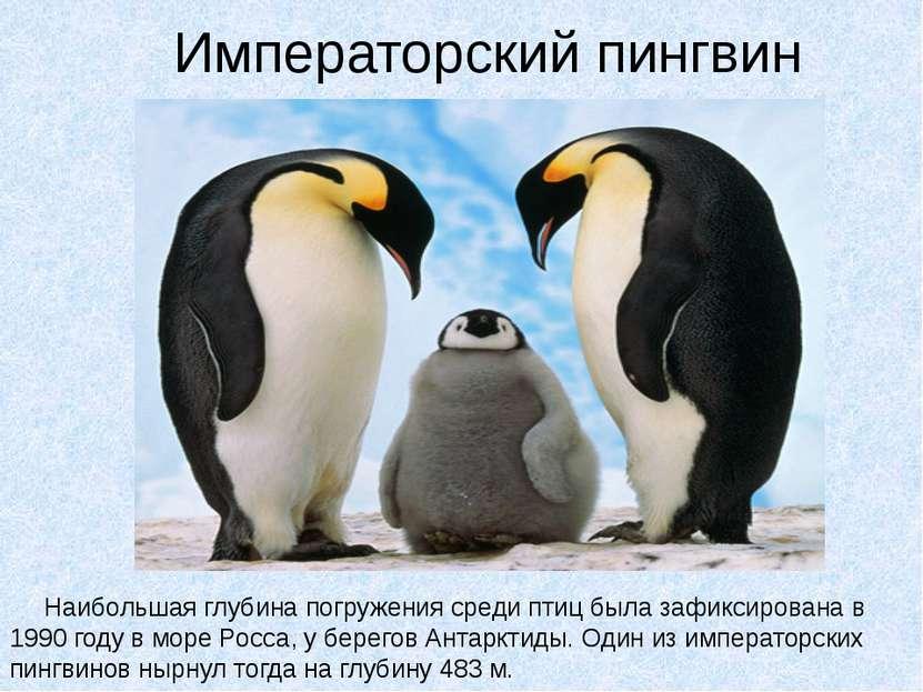 Императорский пингвин Наибольшая глубина погружения среди птиц была зафиксиро...