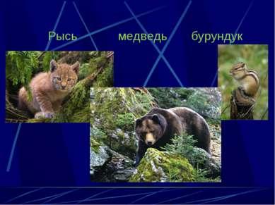 Рысь медведь бурундук