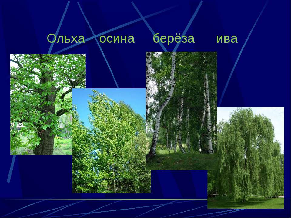Ольха осина берёза ива