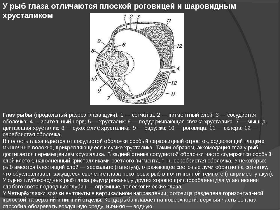 У рыб глаза отличаются плоской роговицей и шаровидным хрусталиком Глаз рыбы (...