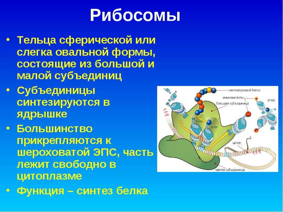 Рибосомы Тельца сферической или слегка овальной формы, состоящие из большой и...