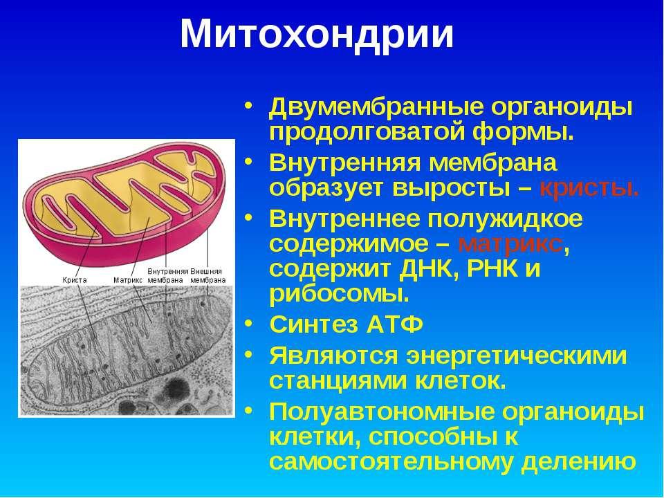 Митохондрии Двумембранные органоиды продолговатой формы. Внутренняя мембрана ...