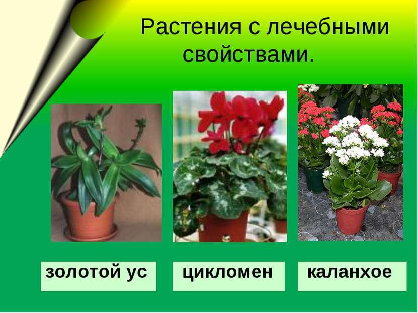 Растения с лечебными свойствами. золотой ус цикломен каланхое