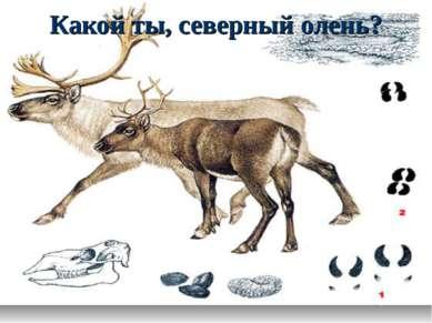 Какой ты, северный олень?