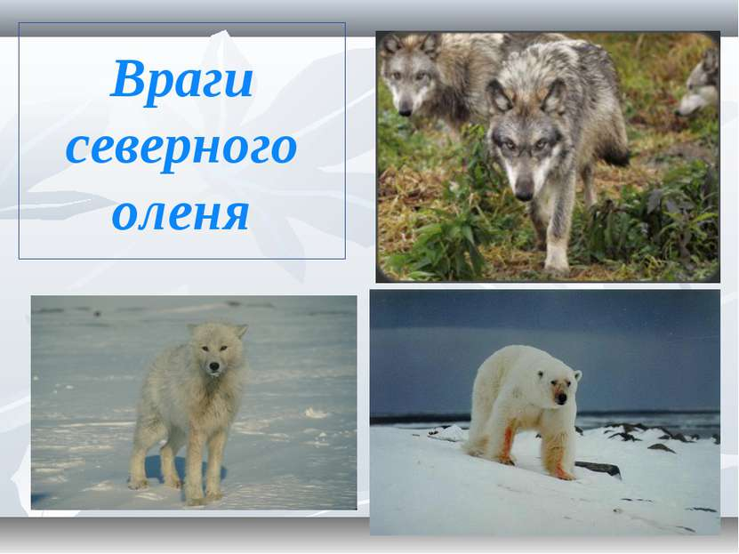 Враги северного оленя