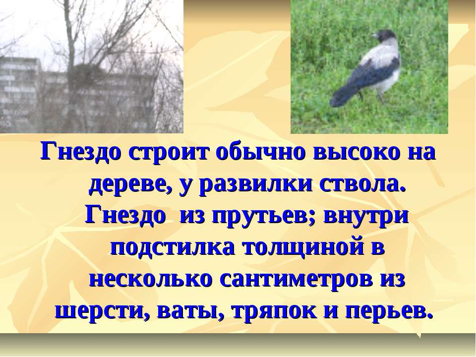 Гнездо строит обычно высоко на дереве, у развилки ствола. Гнездо из прутьев; ...