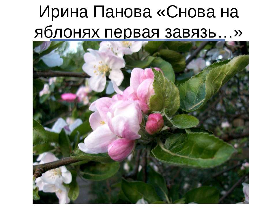 Ирина Панова «Снова на яблонях первая завязь…»